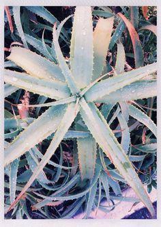#plant #summer #aloe