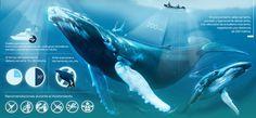 DESDE LAS PROFUNDIDADES DEL PACÍFICO - Juan Manuel Agudelo #ocean #whale #infographic #colombia #blue