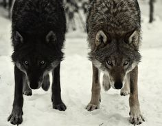 tumblr_l0ffkxIRQg1qzs56do1_500.jpg (500×388) #wolves