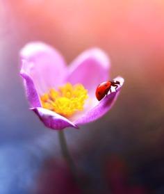 Magical Macro Photos Ladybugs and Flowers by Elena Andreeva