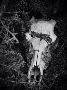 Bull Skull #skeleton #photography #skull #bull #viking