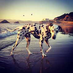 #dalmatian #dog #blackandwhite #photography #california #bigsur #design #love
