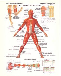 All sizes | 1970s Medical Illustration Diagrams | Flickr - Photo Sharing! #muscle #skeleton #diagram #body #human #illustration #1970s #medical #science
