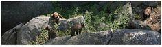 Sven Kils - Photography / Fotografie (California Set 2) #wild #bear #nature #yosemite
