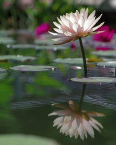 Gorgeous Water lily by Haru