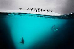 David Doubilet #animals #nature #penguins #landscape