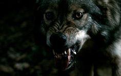 tumblr_kstxawQSEA1qzs56do1_500.jpg (500×316) #wolf #dog
