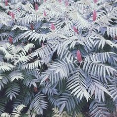 Staghorn Sumac #photography #wild #pattern #canada