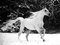 tumblr_ljcp3ycuyl1qbrczco1_500.jpg (500×375) #horse #white #black #and