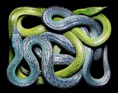 SERPENS #snakes #coiled #serpent #photography #coils