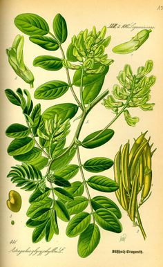 Illustration: Astragalus glycyphyllos #wilhelm #flora #thom #biology #print #fauna #otto #dr #illustration #and