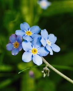 Myosotis Flower Picture