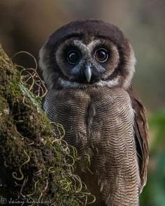 Brown Wood-owl - Sattal, Uttarakhand, India