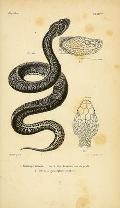 All sizes | Bothrops alterne | Flickr - Photo Sharing! #illustration #snake