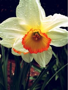 Daffodil #photo #flower #spring #daffodil #plant