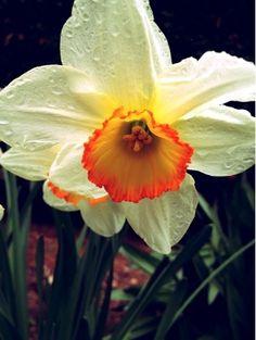 Daffodil #photo #flower #spring #daffodil #plant