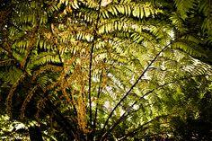Fern Tree #tree #kirstenbosch #nature #fern #beauty