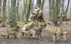 Ravenous wolves jump for a piece of meat during feeding time at a sanctuary in Germany. The feeding frenzy was captured on camera by wolf lo