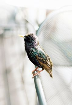 Personal Works by Jennilee Marigomen #fauna #bird #nature #photography #jennilee #marigomen #starling