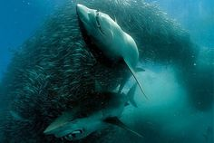 tumblr_lft2c8dh2B1qeeqk5o1_500.jpg (JPEG Image, 480x322 pixels) #great #nature #white #shark