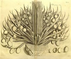 Hortus Malabaricus (1678 1693) | The Public Domain Review #botanical