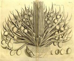Hortus Malabaricus (1678 1693) | The Public Domain Review