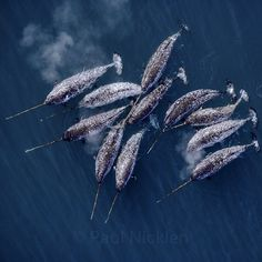 There are Unicorns out there. #narwhal #unicorns #sea #blue #whales