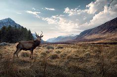 Scotland #deer #wildlife #buck #photography #nature #scotland