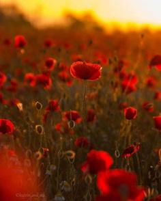 poppy field in the Crimea by Katrin