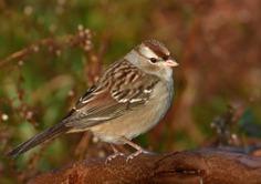 White-crowned Sparrow (leocophreys)