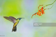 Hummingbird , Green Violetear : Stock Photo