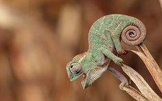 Cute Chameleon Portrait