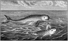 narwhals400.jpg 400×247 pixels #drawings #retro #books #illustration #vintage #narwhals