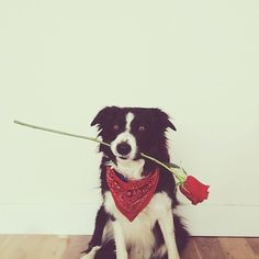 Hope you #animal #photography #dog #present #rose