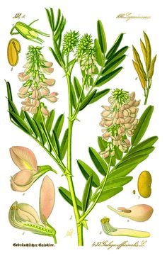 Illustration: Galega officinalis #wilhelm #flora #thom #biology #print #fauna #otto #dr #illustration #and