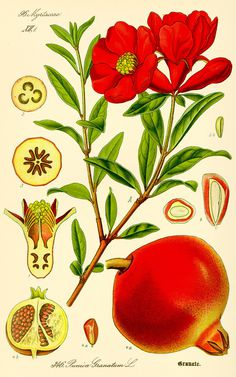 Illustration: Punica granatum #wilhelm #flora #thom #biology #print #fauna #otto #dr #illustration #and
