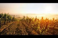 toscana-weinfeld-sonne-nebel.jpg (950×620) #jens #toscana #wine #fersterra