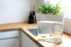 Grow fresh, organic produce in your own home with Ecofarm, a self-cleaning mini-loop ecosystem and fish tank.