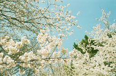 All sizes | 桜 2012(CONTAX G1) | Flickr Photo Sharing! #photography #color #nature