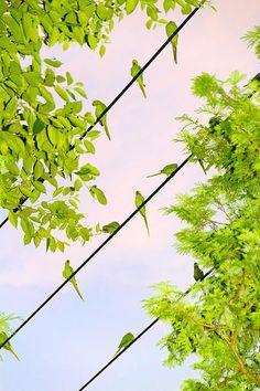 Yoshinori Mizutani | 水谷吉法 | Tokyo Parrots #birds #tokyo #photography #parrots
