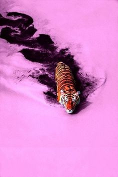 tumblr_m1v5fdLCWT1qzleu4o1_500.jpg (467×700) #tiger