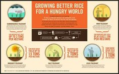 GOOD.is | Growing Better Rice for a Hungry World (Raw Image) #info