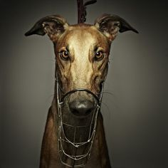 The Lure Series on the Behance Network #hound #photography #grey #dog