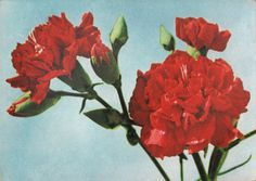 BETACAM SP #photo #ussr #vintage #postcard #flowers