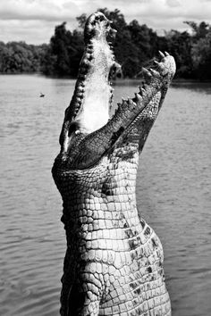 WILD THING: Shell Blues #photography #black and white #crocodile #snap #jaws #beauty #animal #reptile #hunt #fear #eat