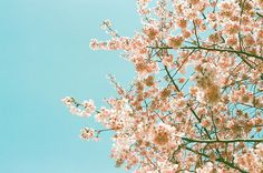 All sizes | 桜 2012(CONTAX G1) | Flickr Photo Sharing!