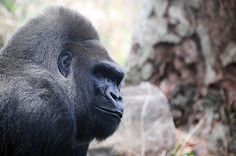 Gorilla #nature #gorilla