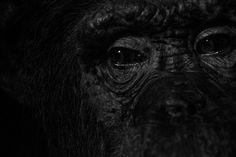 Baltimore Zoo Black and White   Monkey Closeup