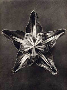 karl-blossfeldt05_15.jpg (JPEG Image, 450 × 603 pixels) - Scaled (98%) #flower #point #five #open
