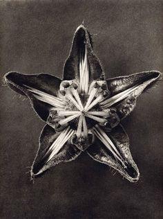 karl-blossfeldt05_15.jpg (JPEG Image, 450×603 pixels) - Scaled (98%) #flower #point #five #open